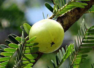 indian gooseberry amla for diabetes control